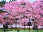 大きな桜の木3_高さ267.jpg